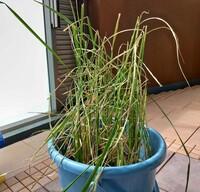 バケツ稲が枯れてきています、どうしてらよいでしょうか?  子供が夏休みで学校から持って帰ってきていたバケツ稲ですが、ずっと順調に、青々と育っていたのですが、8/14-20不在中家族に水や りをお願いしたと...