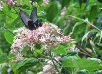 この花(木)の名前を教えて頂けませんか? 木の高さは10数メートルでピンクの花が固まって咲いています。  島根県の島根半島の海沿いの山裾 今日9月1日には毎年訪れるのですが何時も揚羽蝶が乱舞しています。
