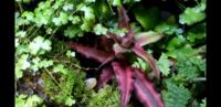 この赤い植物はなんという種類でしょうか。 教えて下さいませ。