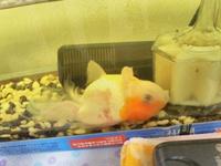 再度、質問させていただきます。 金魚に関する質問です。 写真を見て下さい。 死んでいるように見えますが、まだ生きています。 背ビレ尾ビレもボロボロ。 目も濁っています。 今ではウロ コもはがれていま...
