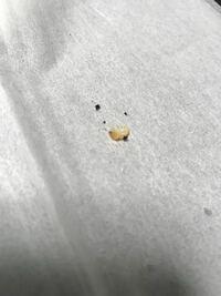 ミヤマクワガタとカブトムシのメスを数匹一緒に飼育してたら卵を沢山産んでました。卵を別のマットにうつしたのですが、今日見ると孵化してました。 生まれたての初齢幼虫です。 さすがに初齢だとミヤマクワガタ...