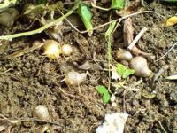 むかごの収穫で教えてください。 ムカゴ目的で、ブログの体験記などを見ながら長芋蔓をえんどう豆用のネットで育ててましたが、台風で倒れて地這いになってしまってます。  今年は諦めていたのですが、つるを持ち...