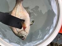 大黒海釣り施設について。 大黒海釣り施設に最近何回か足を運んでいますがサバや小さい魚(ウミタナゴ、フグ、ミニマダイ、ミニカサゴ、ミニセイゴ)しか釣れません。 今まではウキ、チョイ投げ やサビキ釣りをしました。投げ釣りではヒトデばかりかかるし友人はすぐ根がかりすると言っています。ウキでは釣れはするものの小さい魚ばかり。 サビキでは運悪くアジはあまり回遊してないタイミングでした。  釣...