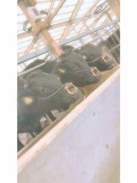 皆様は、家畜についてどう思いますか? 牛を育てている上で、よく目に留まるのは家畜廃止などの文や動画です。 私は3年前まで未熟で何も知識を持たなかったため、その気持ちもとてもわかるのです。 ですがどう気...