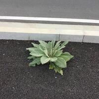 この植物はなんて言う名前でしょうか? (大きさは手のひら4つ分くらい、表面には白っぽい毛)