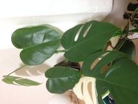 斑入りモンステラを育てているのですが、4枚連続で緑一色の新しい葉っぱが出てきました。茎も途中までは白色の部分があったのですが、3枚前からは緑一色のになっています。  先祖返りというも のでしょうか? ...