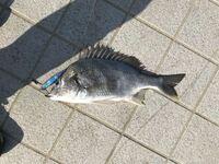 この魚はキビレですか?少し尾下が黄色い感じです。