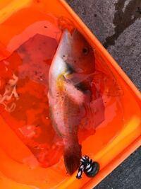 魚に詳しい方! この魚はベラ系ですかね?  たべれますか?…