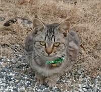 この猫はサバトラ・キジトラどちらでしょうか? 4カ月のメスです。 私や母はサバトラだと思っているのですが、父は鼻の周りが茶色いからキジトラも入っているんじゃないか?と、家族で揉めて います(;・∀・) ...