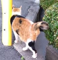 しっぽがクルクルの猫  近所の野良猫のしっぽがびっくりするくらいクルクルになってます。 いつもこの状態です。  奇形でしょうか? なぜしっぽがここまで丸くなってるのですか。  写真ではあまりわからないけど、しっぽの先が向こう側までくるっとなってます。