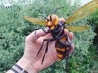 すごい大きいハチ捕まえました  これはなんという蜂ですか?