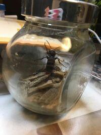 コガタスズメバチの女王を手に入れました! 初めての蜂の飼育です。 蜂の飼育容器は小さくて良いと聞いたんですけど、これは小さすぎますかね? 回答お願いします<(_ _)>   飼育のアドバイスも教えてもらえると嬉しいです!