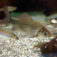 フナ(鮒)の繁殖方法について質問です。  フナ(鮒)という魚が生む卵には、コイといった魚の精子でも受精し、フナの稚魚が生まれると聞いたのですが、本当なのでしょうか?