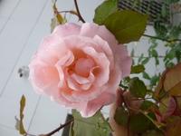 バラの質問です。 地植えバラの根切と強剪定の時期と、鉢植えの植替えと強剪定の時期を教えて下さい。 地域は東京です。 詳しい方でお願いします。