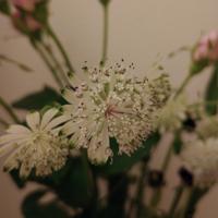 花屋にて購入した切り花なのですが名前を忘れてしまいました。 カタカナだらけの長い名前が花器の名札に書いてあったと思います。  半球の形をしていて、花の付け根にマーガレットの様な花びら(?)があります。 ...