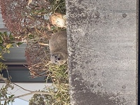 この生き物はなんでしょうか。23区内の住宅街にいました。ハクビシン、狸、犬、猫、イタチ、ヌートリア、などではないと思います。よろしくお願いします。