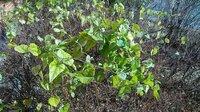 この植物ってまさか自然薯(ヤマノイモ)ではないでしょうね? 近畿地方の街中にある喫茶店の敷地内に生えていました。