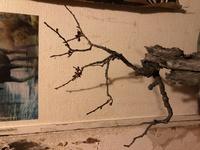去年の梅雨頃に緋梅盆栽の左の枝を折ってしまいその枝は葉芽も花芽ももうないのですが、 やはりこの枝は今年芽が出ず枯れてしまうのでしょうか? この枝を生かす方法は何かありませんか?