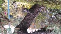 松の木の幹です これはクロマツかアカマツかどちらですか