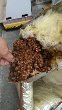 天井裏からこのような物が出てきました。 写真閲覧注意です。  天井にシミがあり、天井裏を見てみるとこのような、卵のカラのようなものや、何かの糞が出てきました。  なにかわかる方、これからの駆除法など教え...