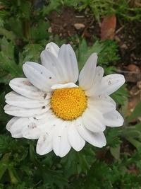 この花、庭から外れてる場所に生えてました、去年ノースポール庭植えした記憶あります、ノースポールのこぼれ種が生えたのか、または別物か教えて欲しいです。数ヶ所庭以外にはえてます。