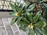 この植物はなんですか? 見たことない 黒い直径5ミリくらいの種を植えたところ ここまで育ちました。 白い花が咲くのでしょうか?