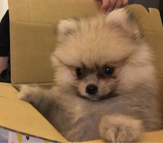子犬 ポメラニアン