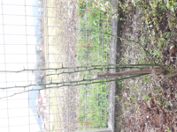 木の剪定等に詳しい方お願いします! 枯れていたと思っていたレモンの木から、新たな新芽が出てきました。そのまま見守っていたら、次から次にどんどん出てきています。色々なネットを見ても、すでに育った木の剪...