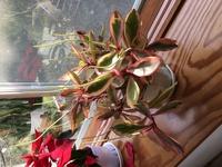 観葉植物 画像の植物の名称がわかりません。 それと、葉の先から尻尾のような枝が伸びてきてます。 このままほっとくのが良いのかわかりません。 教えてください。