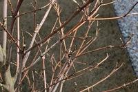 常緑ヤマボウシが枯れてるかどうか。 昨年6月に常緑ヤマボウシ1.5メートルくらいを植えてもらいました。 秋頃までは葉がつき、よかったのですが 度々くる台風や、場所が風が強く当たるところ のせいか、葉が落ち 常緑のはずが冬にはほぼ葉はゼロになりました。  常緑ではないヤマボウシを植えられたのかと問い合わせたところ常緑であると。 強風のせいで葉が落ちることもあるので 春になればま...