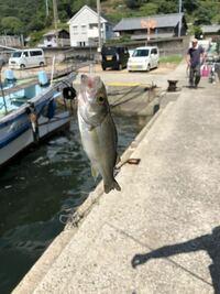 船着場で釣りをしてたら足元で釣れました この魚何ですか? 群でいました