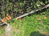 同じ植物なのに、花の大きさが全然違うのはどうしてでしょう? 画像はナガミヒナゲシでしょうか。画像左の方の花は2センチ以上ありますが、右に映っている花は1センチ程度の大きさです。 他の植物では、花の大き...