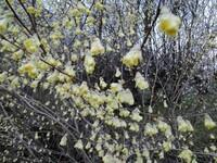 黄色い花が咲いていたのですが、この樹の名前を教えてください。 北関東の里山地域なのですが、山道の道路わきに植樹されたと思われる樹が黄色い小さな花を満開に咲かせていました。10日ほど前です。 葉は花の...