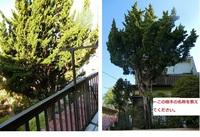 画像の樹木の名称をおしえてください。南からの写真と北側からの写真の2枚ですが、同一の樹木です。  伐採の必要があるので、人が昇ったら折れやすいか・などの特徴を、名称を理解した上で調べたいです。