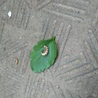 この小さな芋虫は何の幼虫ですか? ※芋虫の画像を添付していますので苦手な方はお気をつけくださいませ。   ベランダのビオラにこの小さな芋虫がちらほらついているのですが 育ったら何に なるのでしょうか?  また駆除するにはよくある殺虫剤スプレーなどで大丈夫ですか? よろしくお願い致しますm(._.)m