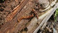この生き物なんですか? ミミズのような長さと動きで 表面はナメクジのようでした  頭が銀杏の葉みたいな形状です