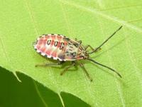ヘリカメムシの仲間の幼体でしょうか。どなたかこの種類をお教えいただけないでしょうか。
