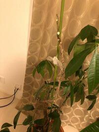観葉植物初心者です。 頂き物のパキラなのですが、この茶色くなった枝はもう葉をつけないのでしょうか? 育て方が悪くてこのようになったのでしょうか? 改善方法、対処法など分かれば教えて下さい。