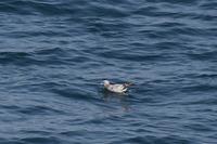 水鳥の名前を教えてください  4月20日仙台港近くの海上でフリーから見た水鳥です。 この水鳥のなまえを教えてください。
