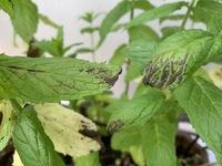 植木鉢で育てているミントの葉に最近黒い模様が現れて気になっていたのですが、このところ白っぽくなり始めました。やはり害虫だったのか、、と考えています。よい対処方法など伝授していただければ幸いです。