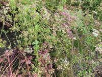 散歩道でみつけたこの草は何という名前の草か教えて頂けたら嬉しいです。 パクチーのような香りで気になりました!