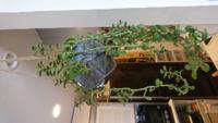 観葉植物の名前について教えてください。 写真の吊るしてある観葉植物なのですが、花屋さんで購入した時に名前を聞くのを忘れました。  育てかたを調べたいのですが、教えてくださいませんか?  よろしくお願いし...