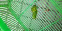 この青虫の種類は何でしょうか? 先ほど、徒歩で我が家に来られました。 恐らくアゲハチョウの幼虫なんだろう。と、ざっくりとは推測できたのですが、いまいち自信がありません。  なるべく早く、もといた場所か快適な所へお連れしたいと思います。  この青虫の種類と、喜びそうな場所を教えてください。    よろしくお願いします。