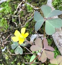 よく見かけれるクローバーのような雑草のような三つ葉の草の袂から黄色い小さな花が咲いていました。この花の名前を教えてください。