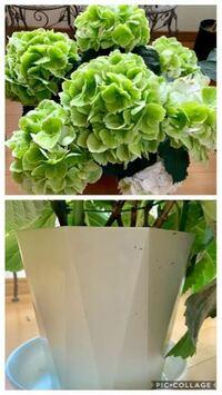 このアジサイの品種名がお分かりの方はいらっしゃいませんでしょうか? 買ったお店に聞いたところ、入荷時から品種名の札は無かったそうです。  咲き始めはホワイトで、現在は秋色になりグリーンになりした。 普通のアジサイよりも装飾花1枚1枚が大きいです。売り場にあった時に思ったのが、他のギフトアジサイと比べて葉も大きく緑色が濃かったです。 お値段もそれなりでした。  出荷される農園さん毎にプラ鉢が決...