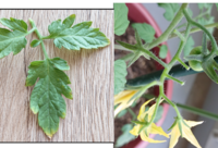 ミニトマトのぺぺをベランダで10号の鉢で育ててます。 葉先が枯れているのと、実が落ちているのでアドバイスが欲しいです。 葉先が枯れているのは、上から2~3段より下の葉全部そうなっていま す。 土は花と野菜の培養土、みたいなホームセンターで安く売られているものを買いました。 肥料などは与えていません。 表面が乾燥したら水やりしています。 虫は見つけ次第ティッシュで対処しています。...