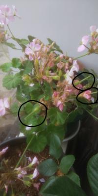 この花の花びらが付いていた?場所が、長くなっているのを複数見付けたのですが これは、何かわかりますか?  黒○で囲ったヤツです