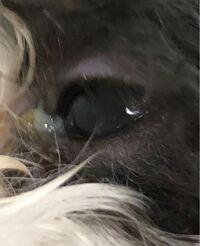 目やに 臭い 犬 犬の目やにが臭い!犬の目やにの取り方、目薬の差し方