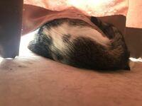 猫の模様でしっぽの付け根の上のこの斑点模様は珍しいのですか?