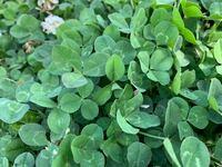 この写真の植物で四つ葉のクローバーってあったりしますか?